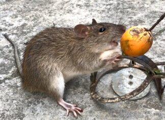 Dịch vụ diệt chuột Hải Phòng